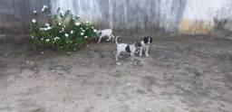 Vendo cachorros perdigueiro