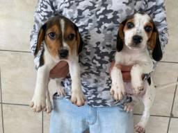 Título do anúncio: Lindos beagle Fotos reais raça pura vacinado