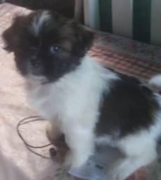 Venda de lindo  filhote ,Raça Pura Shih - tzu, Macho c/ 2 meses.