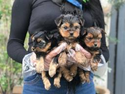 Yorkshire terrier machos e femeas