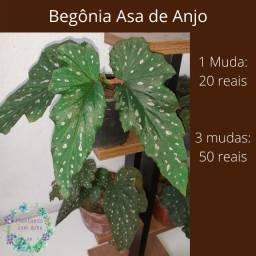 Begônia Asa de Anjo