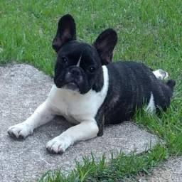 Filhote de Bulldog Francês Macho - 5 meses