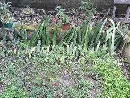 Mudas de pitaya orejona