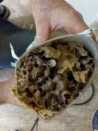 Atrativo para captura de abelha Jataí mirim tubuna