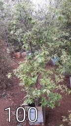 jabuticaba ibrida produzindo de todos os tamanho e valor 90.100.120.130. whuzap *