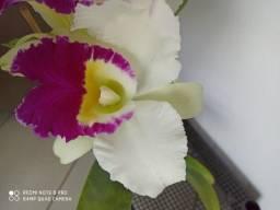 Orquideas - Diversas