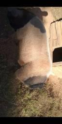 Cachaço leitão porco