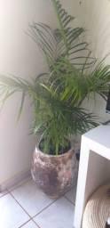 Planta Palmeiras