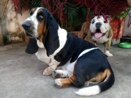 Basset Hound com excelente pedigree procura namorada