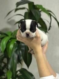 Filhotes de Bulldog Francês, com suporte veterinário 24 hrs gratuito