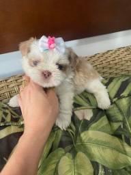 shih-tzu super pequena com pedigree cbkc! Fotos reais!!!