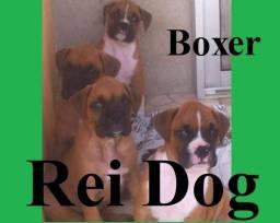 Boxer de excelente linhagem - Rei Dog Filhote/Aracaju