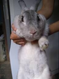 Coelha cinza .