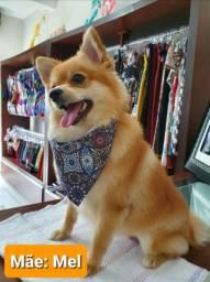 Lulu da Pomeranian