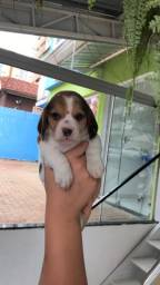 Beagle macho disponível