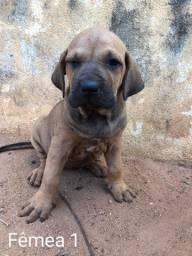 Vendo cachorro Fila Brasileiro