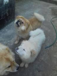 Cachorros Chow-Chow
