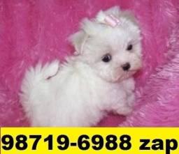 Canil Top Cães Filhotes BH Maltês Poodle Basset Lhasa Bulldog Pug Yorkshire Shihtzu