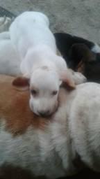 2 fêmeas basse hound