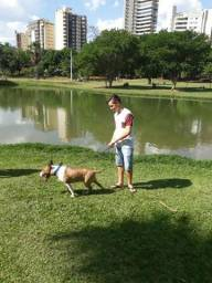 Bull terrier inglês macho pra cobertura