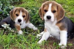 Beagle 13 polegadas c contrato e garantia