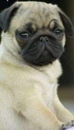 Título do anúncio: Pug filhote macho e fêmea com pedigree e microchip