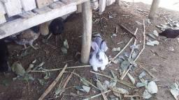 Título do anúncio: Vendo filhotes de coelho gigante de flandes