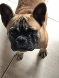 Bulldog francês fêmea 7 meses
