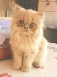 Vendo gata persa