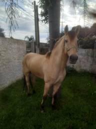 Cavalo ótimo e lindo!