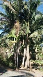 Barbada Palmeira Real até 10 metros