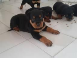 Filhotas de Rottweiler