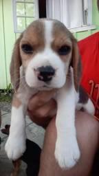 Vendo filhotes beagle