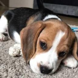 Beagle chamar no what's para informações * Caroline