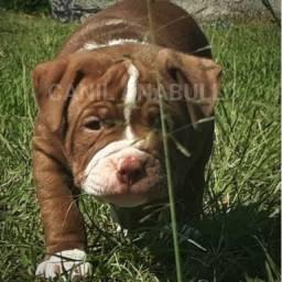 American Pitbull Terrier Filhotes de Alto Padrão C Pedigree e Ac Veterinário