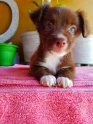 Filhotes de poodle com boder collie (((fêmea)))