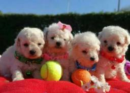 Poodle toy disponível filhotes