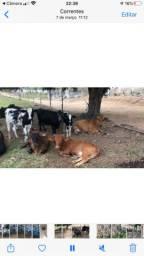 Mini Touros e Vacas anã