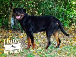 Linda fêmea de Rottweiler!