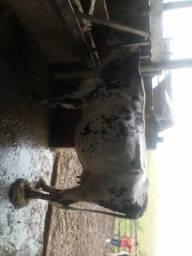 5 vacas 4 dando leite e uma falhada