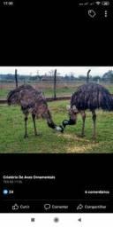 Casal de emu