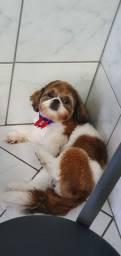 Cachorro Shihtzu 1 ano