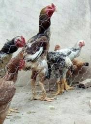 Título do anúncio: vendo frangos indio gigante