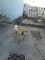 Cachorros Chow-Chow 100%
