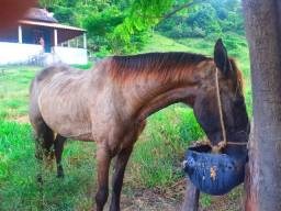 Cavalos mangolino