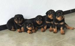 Filhotes de Rottweiler ( Canil Haus Lopes)