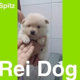 Spitz em 12x , Reidog Maceió com pedigree