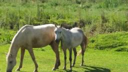 Vendo 2 Cavalos Já Amansados e com Marcha