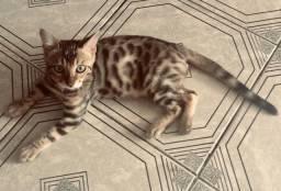 Gatos Bengal com 03 meses