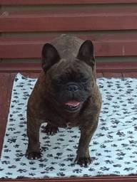 Bulldog Francês - fêmeas adultas